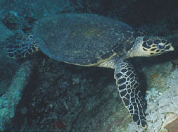 Hawksbill turtle on Thistlegorm